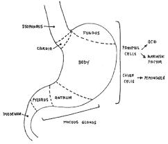 human abdomen diagram