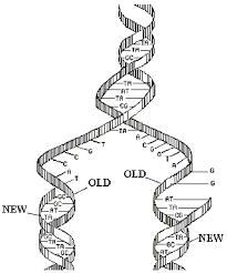 dna molecule replication