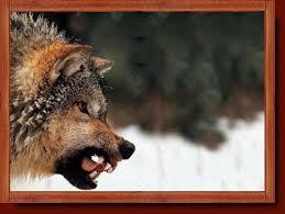 timber wolf population