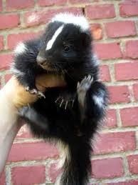 pet skunks
