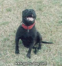 gator mouth pit bull