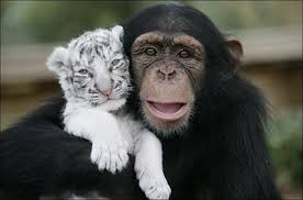 cute chimpanzee pictures