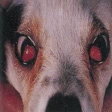 canine cherry eye