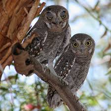 pictures of elf owls