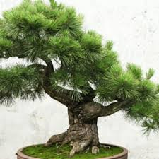 pine tree bonsai