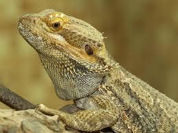 bearded dragon background