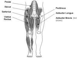 muscle flexor