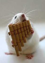 cute rat pics
