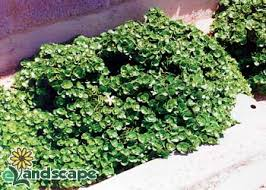 boxwood beauty