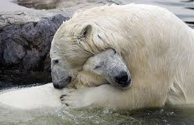 pictures polar bears