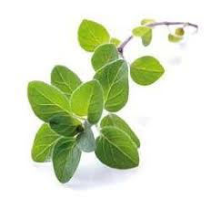 herb oregano
