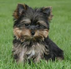 puppies yorkshire terriers