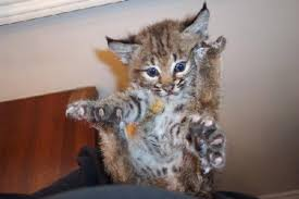 baby bobcat pictures