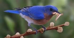 photos of bluebirds