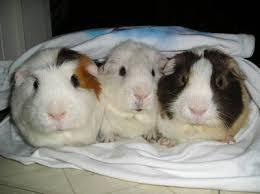 guinea pigs 4 sale