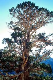 pictures of juniper trees