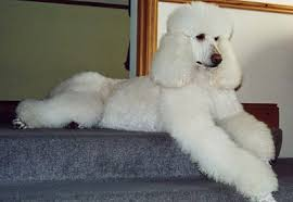 standard french poodles