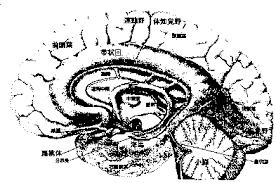 gyrus cinguli