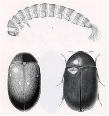 carpenter beetles