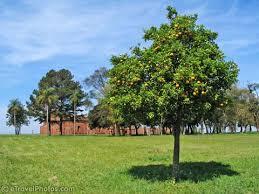 picture of lemon tree