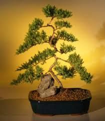 dwarf juniper bonsai tree