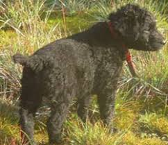curly coated retriever pups