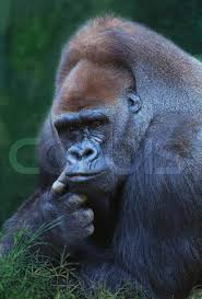 el gorila mas grande