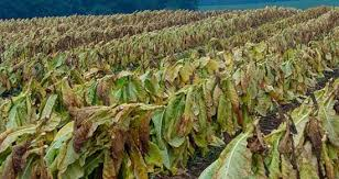 growing tobacco