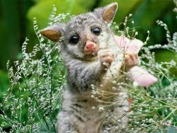Download Wombat Baby Wallpaper
