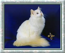 flame point ragdoll cats