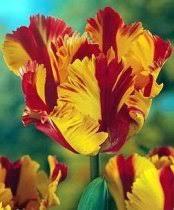flaming parrot tulip