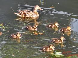duck ducklings