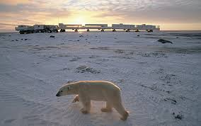 polar bear in tundra