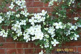clematis grandiflora