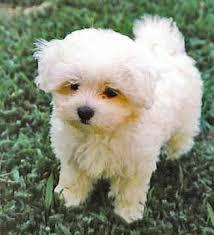 maltese dogs puppies