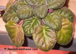 african violet leaf