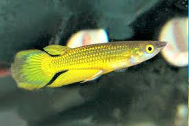 golden wonder fish