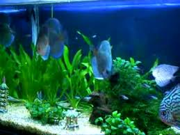 discus fish varieties