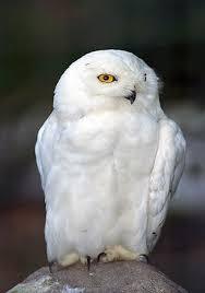 snowy owl pics