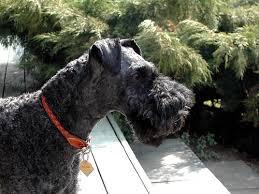 kerry blue terrier dogs