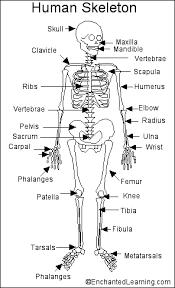 human skeletal bones