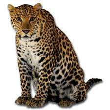endangered animals leopard
