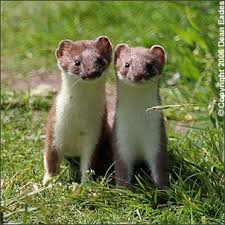pictures of stoats