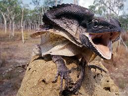 frilled lizard pics