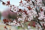 cistena plum tree