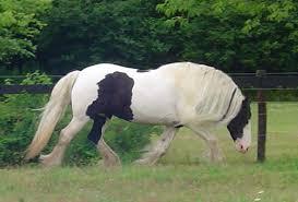 gypsy mare