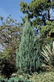 juniperus virginiana skyrocket