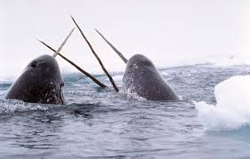 narwhal whale photos
