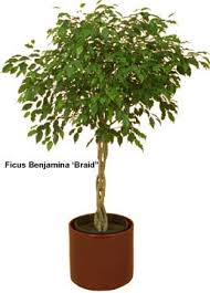 ficus tree pictures