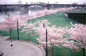 akebono cherry